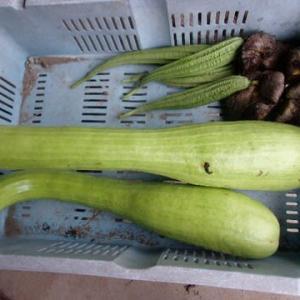 芋類の収穫