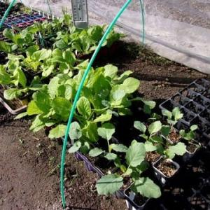 白菜を植えます