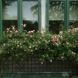 バラの最盛期のみオープンガーデンいたします