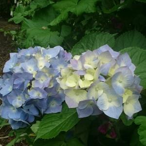 紫陽花が似合う梅雨