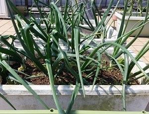 屋上菜園2020-04 玉ネギ