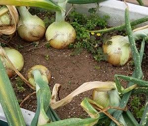 屋上菜園2020-06窮極の玉ネギ保存