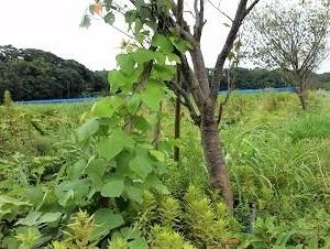 八千代新川千本桜 20-09