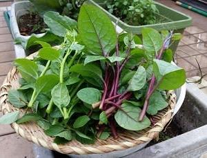 屋上菜園2020-09 豊作の夏野菜