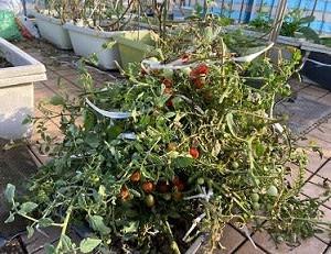 屋上菜園2021-09割れたトマト