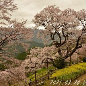 雨天の桜巡り