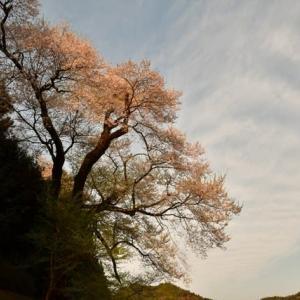 つるぎ町の桜より