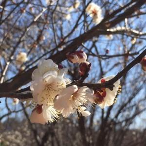 梅の花満開・・・