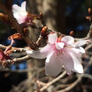 大宮八幡宮の早咲きの桜・・・