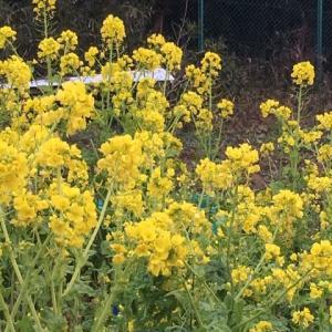 菜の花の季節☆インドカレー