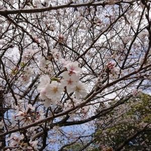 桜は満開なのに・・。