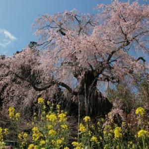 2020年 枝垂れ桜満開 / パガニーニの主題による狂詩曲 第18変奏