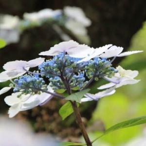 2020年 6月の花 紫陽花 / A Little Flower