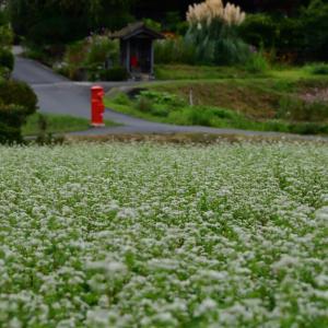 美山かやぶきの里では 蕎麦の花が 綺麗ですよ