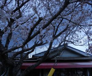 コンパン桜。