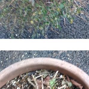ガーデンマムの剪定。