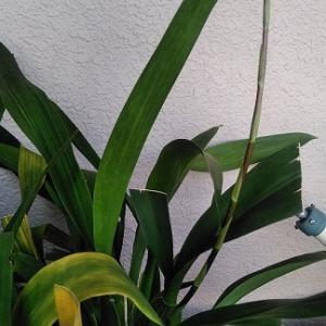 オンシジウムの花茎