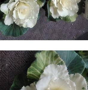 白薔薇のクリスマスリース ♬