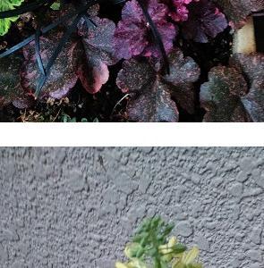 葉ボタンの菜花