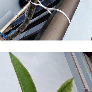 プルメリアの葉、展開中
