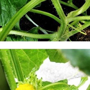 ミニメロンの雄花