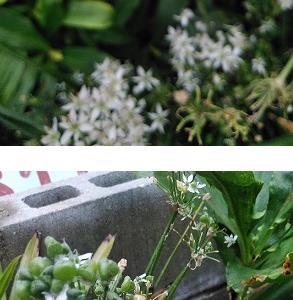 ニンニクに種が付き始める。