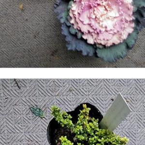 ロゼカラーの葉牡丹の寄せ植え(^^♪