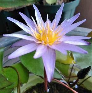 涼しげに咲く ミニミニミロク