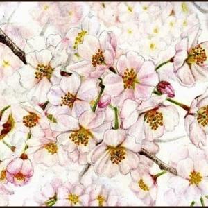 ~今年の桜・父の介護~