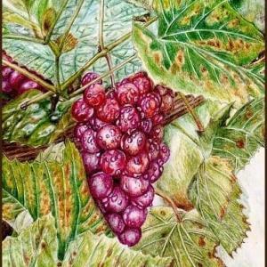 色鉛筆画544 (赤葡萄)