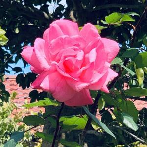 2020.4.19(日) 薔薇 新型コロナ