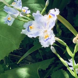 2020.4.20(月) 著莪(しゃが)の花 新型コロナ
