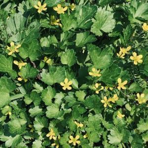 2020.5.3(日)  くさぐさの花 ギンポウゲ 新型コロナ
