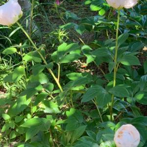 2020.5.8(金)  くさぐさの花 芍薬 新型コロナ