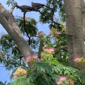 2020.6.18(木)    合歓の花  新型コロナ