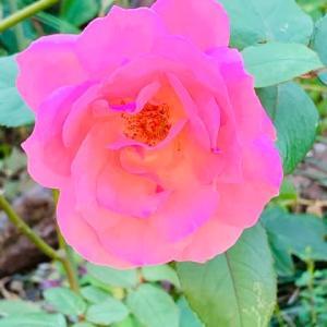 2020.10.22(木)    薔薇 新型コロナ