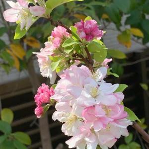 2021.3.27(土)    林檎の花 新型コロナ