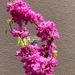 2021.4.1(木)    蘇芳の花 新型コロナ