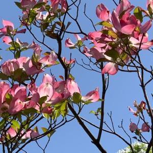 2021.4.12(月)    アメリカ花水木 新型コロナ