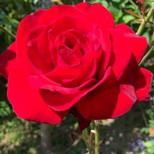 2021.4.19(月)    薔薇 新型コロナ