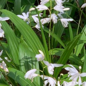 2021.5.5(水)    白花紫蘭 新型コロナ