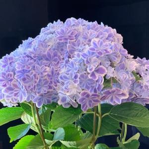 2021.5.6(木)    紫陽花「万華鏡」 新型コロナ