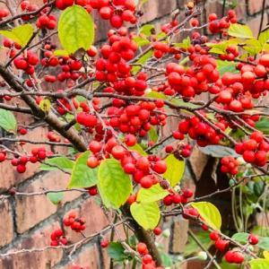2021.10.21(木)    梅もどき 新型コロナ