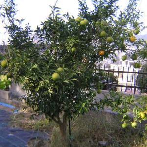 柚子の初収穫をした