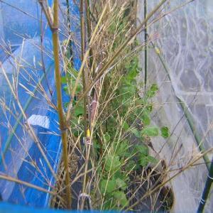 実豌豆(グリンピース)の現状