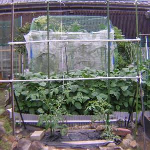 トマトの収穫と現状