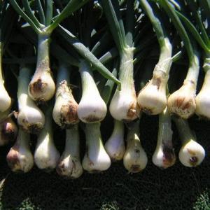 玉ねぎ収穫と手入れ