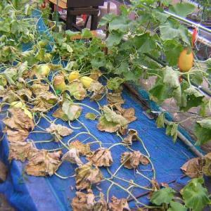 キンショウメロンの葉が枯れ始めた