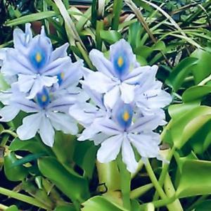 """薄紫で涼しげな""""ホテイアオイ""""の花。"""