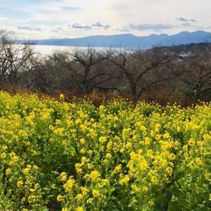 見頃を迎えた吾妻山山頂の菜の花で早春を満喫。